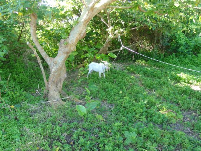 6月下旬人のいない竹富島藪につながれたヤギ