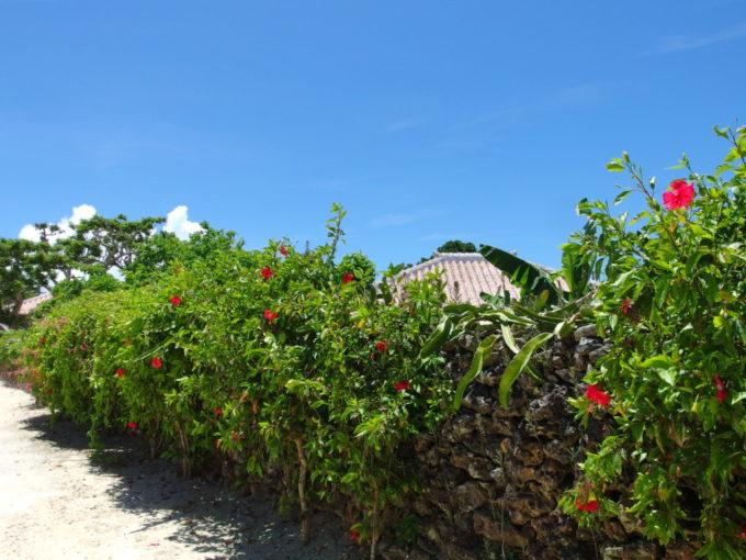6月下旬人のいない竹富島珊瑚の石垣に咲く艶やかなハイビスカス