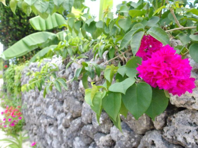 6月下旬人のいない竹富島珊瑚に石垣に咲く鮮やかなブーゲンビリア