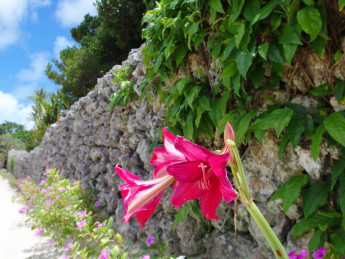 6月下旬人のいない竹富島道端に咲く鮮やかな赤紫の百合の花