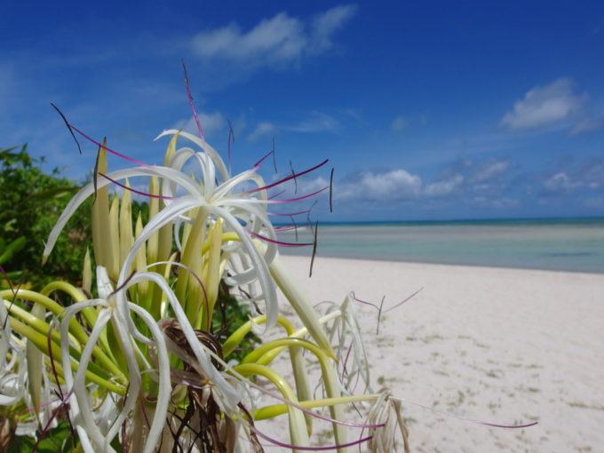 6月下旬人の少ない竹富島コンドイビーチで海風に吹かれ揺れる可憐なハマユウ