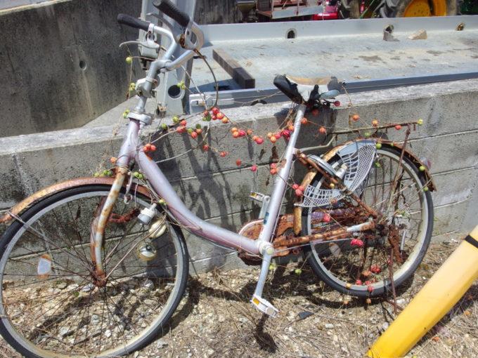 6月下旬人の少ない石垣島オキナワスズメウリに浸食される廃自転車