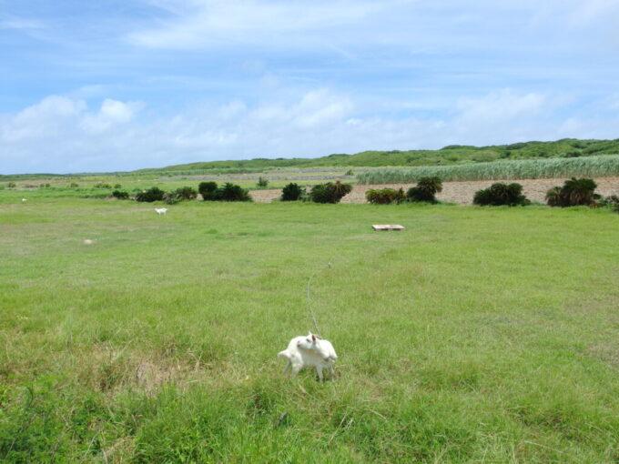 6月下旬人の少ない有人島日本最南端波照間島草原でのどかに暮らすヤギ