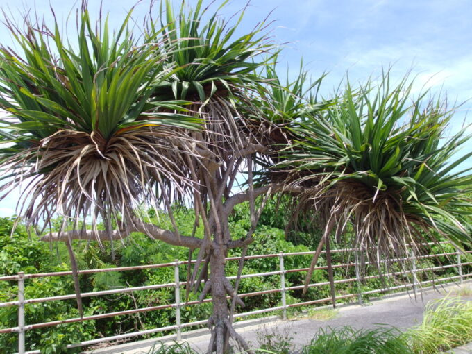 6月下旬人の少ない有人島日本最南端波照間島ワイルドな街路樹