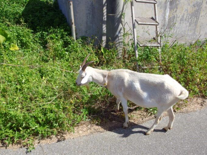6月下旬人の少ない有人島日本最南端波照間島道端で草をはむヤギ