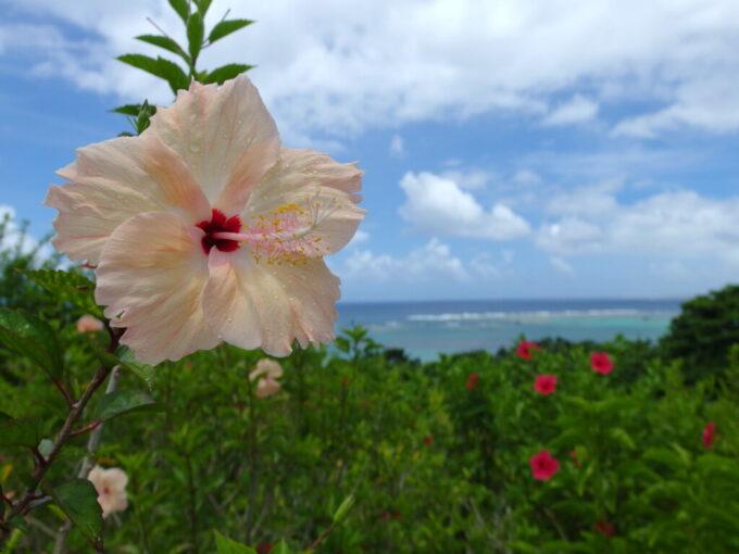 6月下旬人の少ない石垣島雨上がりに雨粒輝く玉取崎のハイビスカス