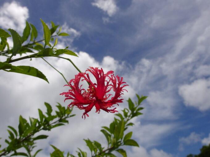 6月下旬人の少ない石垣島玉取崎に咲くフウリンブッソウゲ