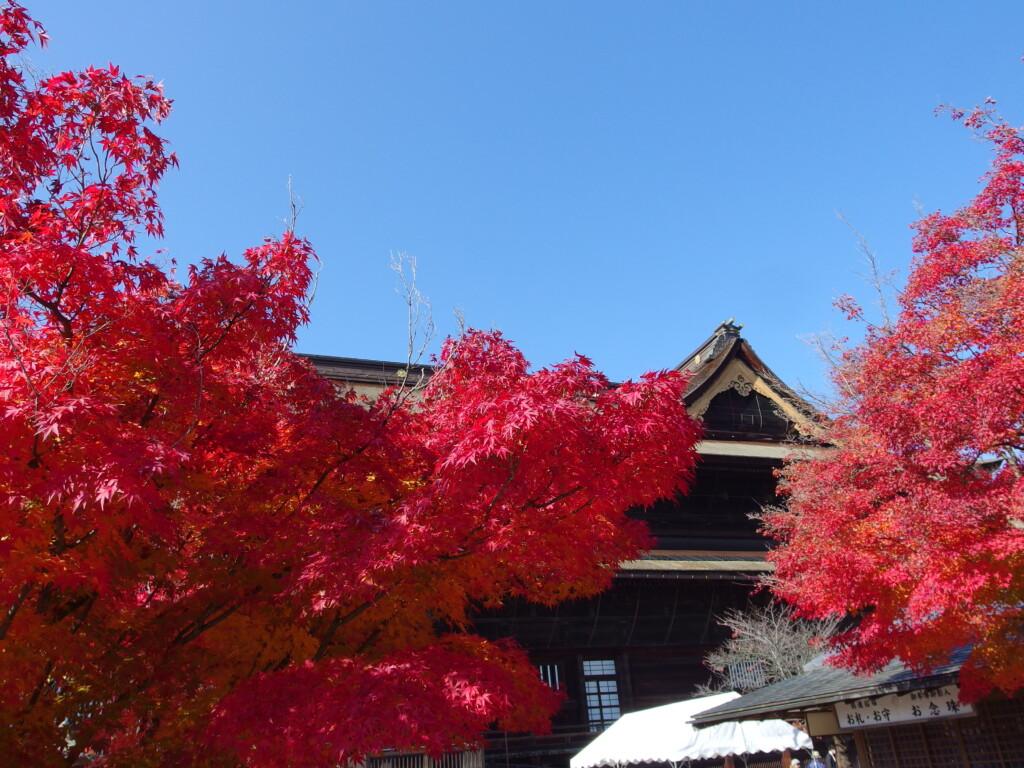 11月中旬紅葉に染まる信州善光寺