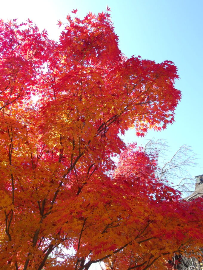 11月中旬信州善光寺の盛りの紅葉