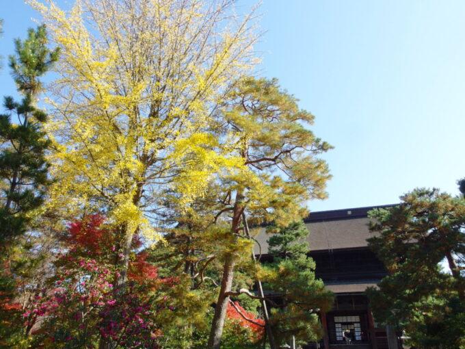 11月中旬の信州善光寺秋晴れの空に枝を伸ばす銀杏