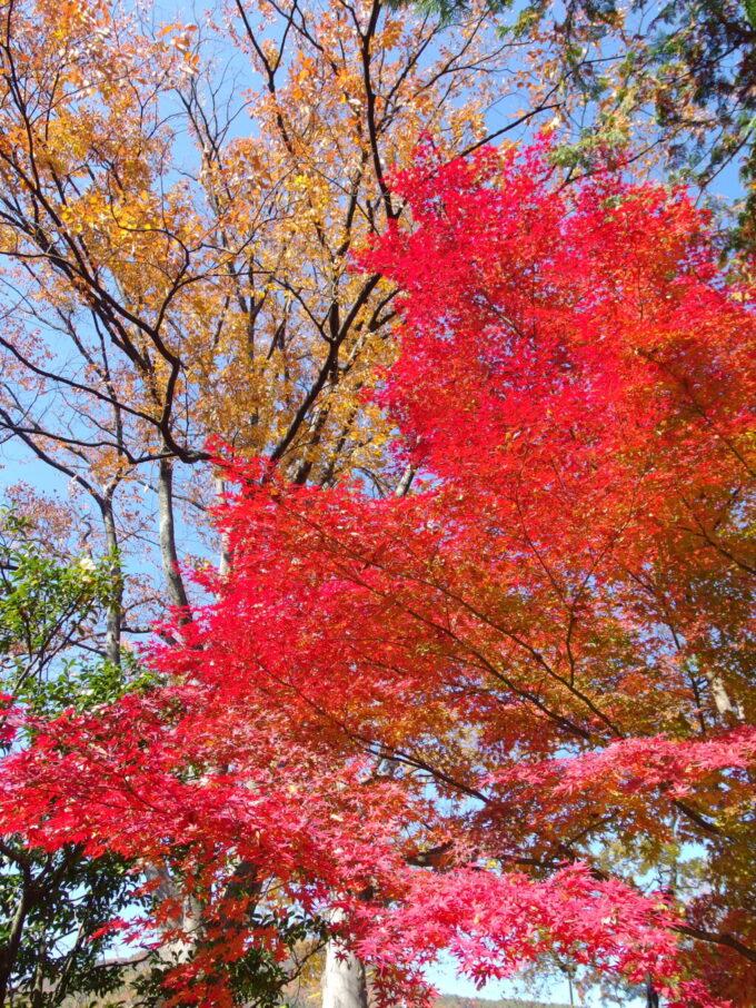 11月中旬信州善光寺空を覆う秋色の木々