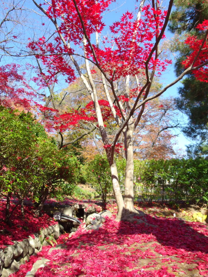 11月中旬信州善光寺紅葉の下には赤色の絨毯