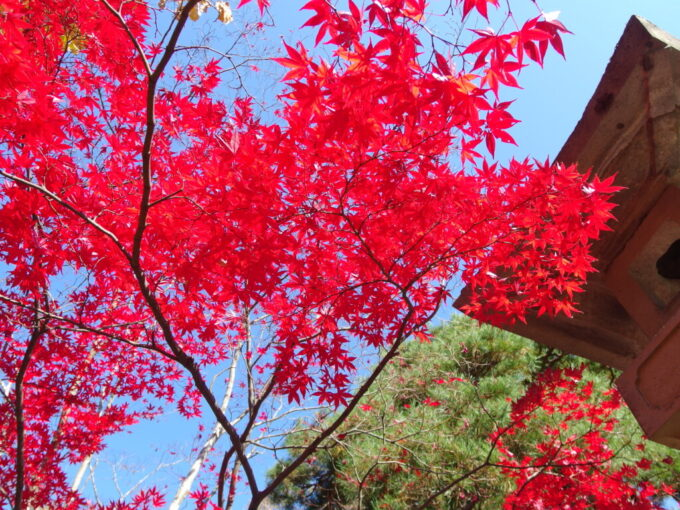 11月中旬信州善光寺秋晴れの空ともみじの鮮烈な対比