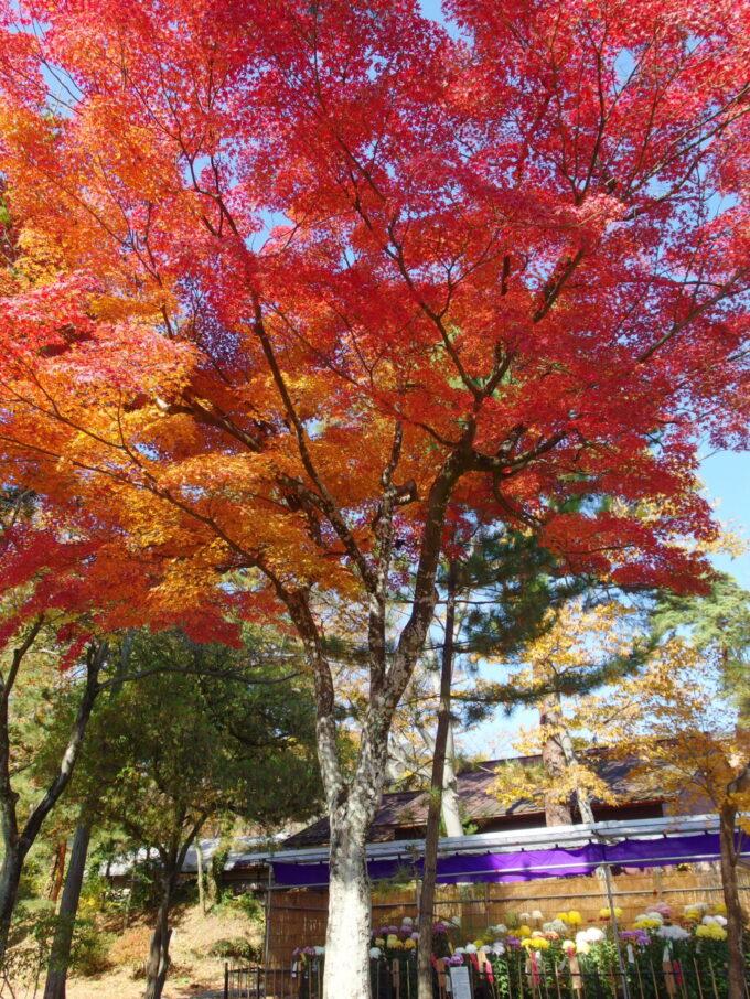 11月中旬信州善光寺紅葉と菊の競演