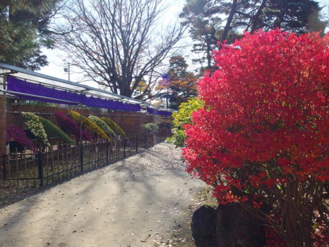 11月中旬信州善光寺美しい菊の花と色付く木々