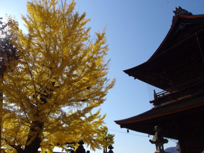 11月中旬信州善光寺山門の脇を黄金色に染める銀杏の大木
