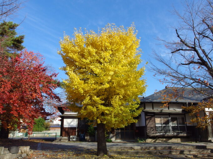 11月中旬の須坂墨坂神社芝宮境内の大銀杏