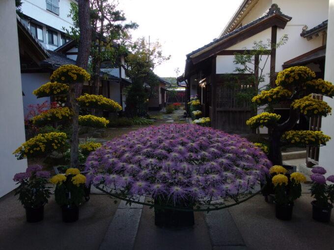 11月中旬の須坂旧小田切家住宅に咲く大輪の菊